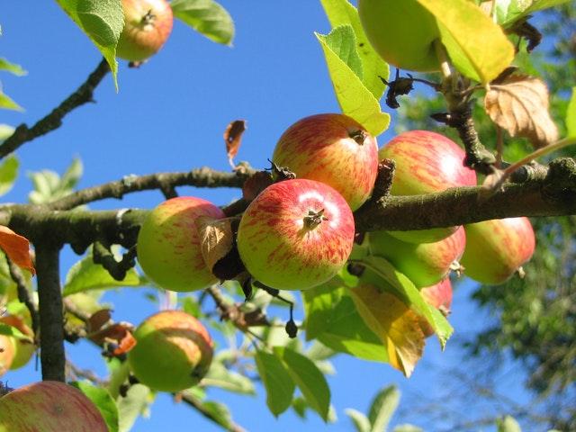 apple-tree-orchard-apfelernte-54629