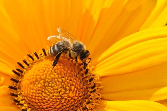 Pyłek kwiatowy (pszczeli)