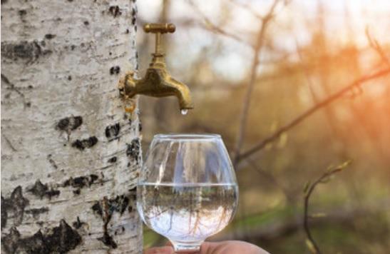 Woda brzozowa – jak wpływa na zdrowie?