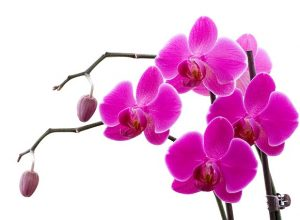 orchid-622481_640